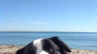 Animals beaches border collies dogs nature wallpaper