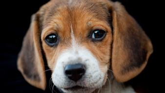 Animals beagle dogs puppies Wallpaper