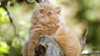 Animals cats orange persian cat wallpaper