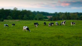 Animals cows grass tiltshift trees wallpaper