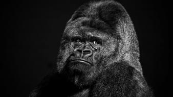 Animals gorillas grayscale wallpaper