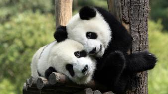 Animals mammals nature panda bears wallpaper