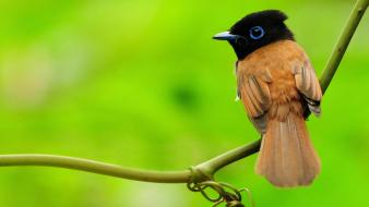 Asian paradise flycatcher animals birds nature wallpaper