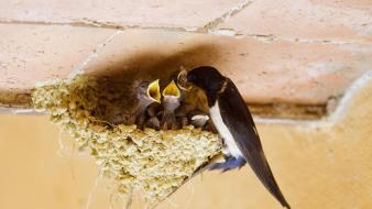 Baby birds feeding nest swallow wallpaper