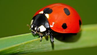Closeup insects ladybirds wallpaper