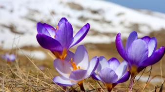 Crocus flowers grass nature plants wallpaper