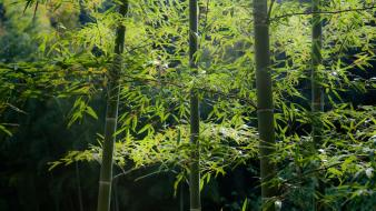 Japan bamboo garden nature snow wallpaper