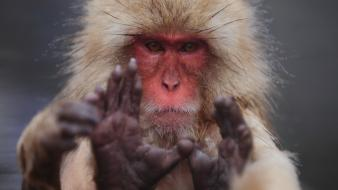 Japanese macaque animals hairy monkeys snow monkey wallpaper
