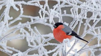 Birds branches bullfinch frost twig wallpaper