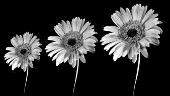 Black and white background flowers Wallpaper