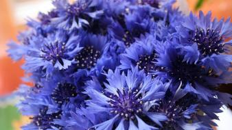 Blue flowers cornflowers Wallpaper