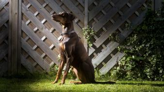 Doberman pinscher animals dogs pets Wallpaper