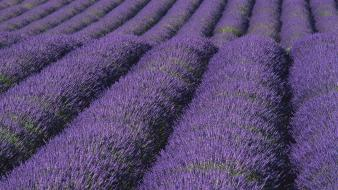 Lavender nature wallpaper