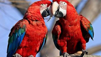 Scarlet macaws birds multicolor nature parrots wallpaper