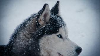 Siberian husky huskies winter wallpaper