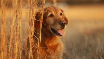 Animals dogs fields wheat golden retriever wallpaper