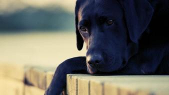 Black animals dogs sadness labradors wallpaper