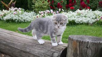 Cats animals scottish fold wallpaper