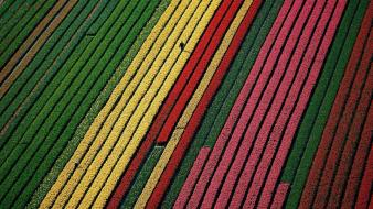 Flowers earth fields tulips colors aerial view wallpaper