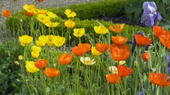 Flowers grass iceland poppies irises wallpaper