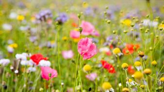 Flowers grass poppies wallpaper