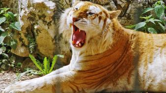 Golden Tiger Hdtv 1080p Hd Wallpaper