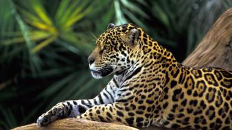 Jaguar In Amazon Rainforest wallpaper