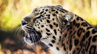 Leopard 1080p Hd Wallpaper
