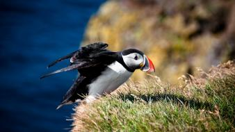 Nature birds puffin wallpaper