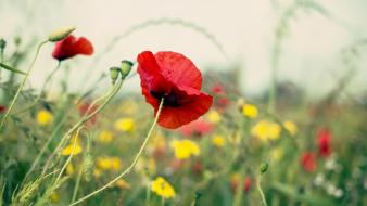 Nature flowers bokeh depth of field red poppies wallpaper