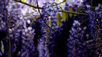 Nature flowers leaves wisteria depth of field purple wallpaper