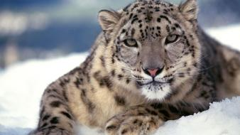 Scary Snow Leopard Wallpaper