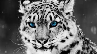 Snow Blue Eye Leopard wallpaper