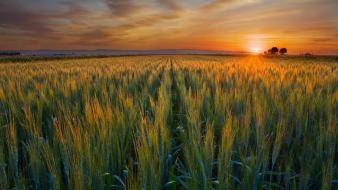 Sunset nature fields valley wheat california harvest wallpaper