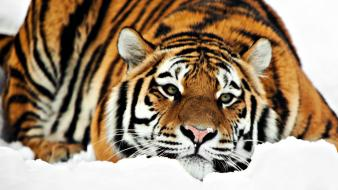 Tiger Hd 1080p Hd Wallpaper