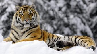 Tiger In Winter Hd Wallpaper