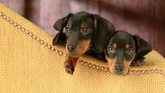 Animals couch dachshund dogs pets wallpaper