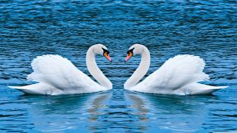 Animals lakes love swans wallpaper