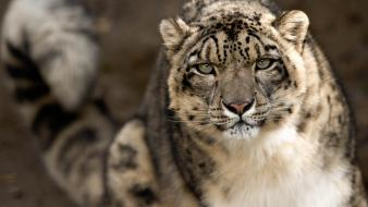 Animals snow leopards tigers wallpaper