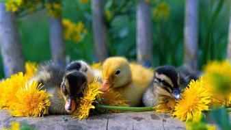 Baby birds duckling ducks nature yellow flowers Wallpaper