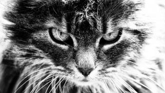 Cats greyscale nature scary wildlife wallpaper
