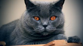 Chartreux animals cats Wallpaper