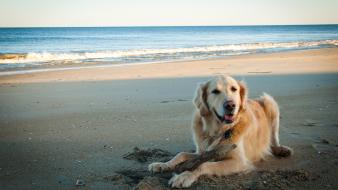 Animals beaches dogs golden retriever outdoors wallpaper