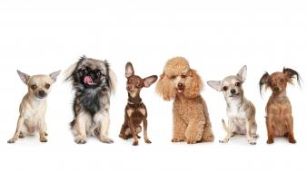 Animals chihuahua dogs miniature pinscher pekinese wallpaper