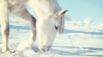 Animals horses snow white wallpaper