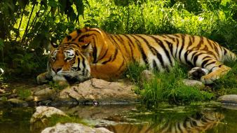 Animals nature tigers Wallpaper