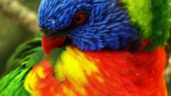 Birds multicolor parrots rainbow lorikeet wallpaper