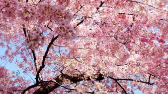 Blossom flowers trees wallpaper