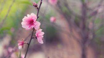 Cherry blossoms flowers macro wallpaper