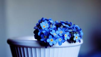 Forgetmenots blue flowers potted plant Wallpaper